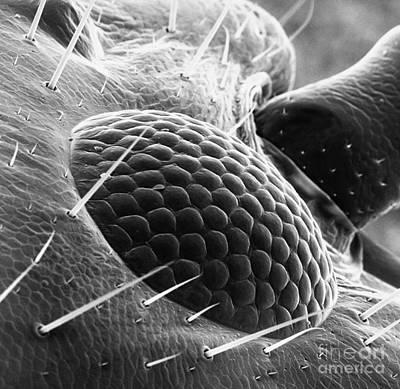 Apocrita Photograph - Ant Eye Sem by David M. Phillips