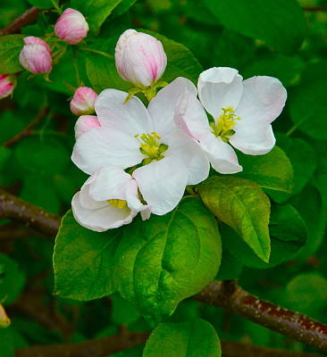Apple Blossoms Art Print by Johanna Bruwer