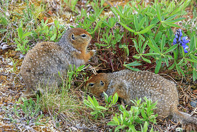 Arctic Ground Squirrel Art Print by Tom Norring