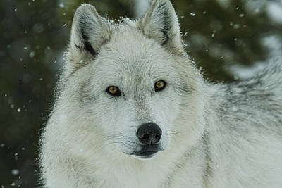 Photograph - Arctic Wolf by Steve McKinzie