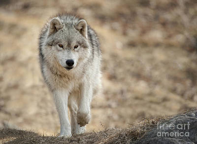 Print featuring the photograph Arctic Wolf by Wolves Only