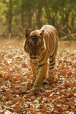 Asia, India, Bandhavgarh National Park Art Print