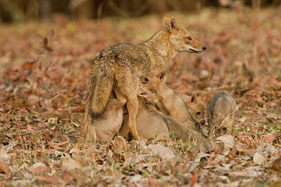 Mcdonalds Photograph - Asia, India, Pench National Park by Joe and Mary Ann Mcdonald