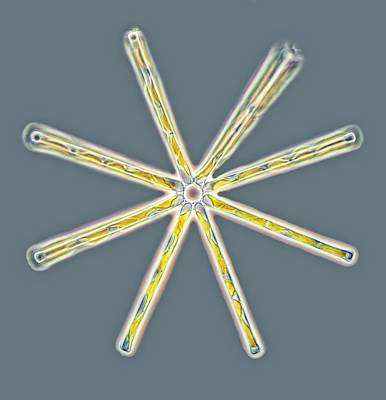Diatom Photograph - Asterionella Diatoms by Gerd Guenther