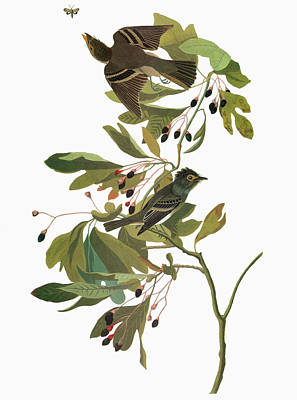 Flycatcher Painting - Audubon Flycatcher by Granger