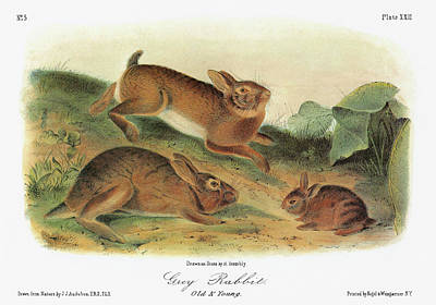 Lagomorphs Painting - Audubon Rabbit by Granger