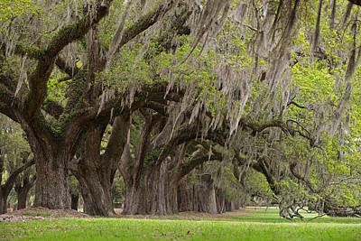 Photograph - Avenue Of Oaks by Bernard Chen