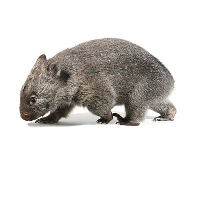 Marsupial Photograph - Baby Common Wombat by Science Photo Library