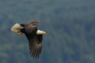 Bald Eagle Art Print by Ken Archer