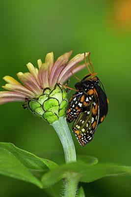 Hatching Photograph - Baltimore Checkered Spot Butterfly by Darrell Gulin