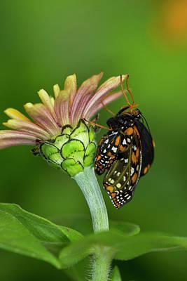 Hatching Wall Art - Photograph - Baltimore Checkered Spot Butterfly by Darrell Gulin
