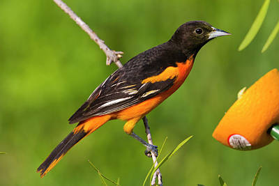 Baltimore Photograph - Baltimore Oriole (icterus Galbula by Larry Ditto