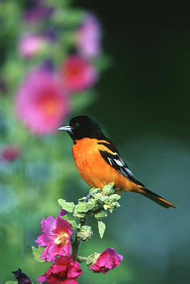 Hollyhock Photograph - Baltimore Oriole (icterus Galbula by Richard and Susan Day