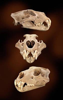 Barbary Lion Skull Art Print