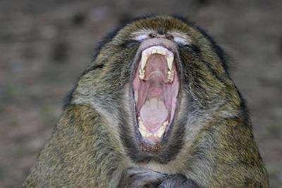 Barbary Macaque Art Print