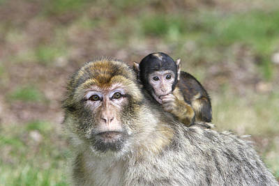Parental Care Photograph - Barbary Macaques by M. Watson