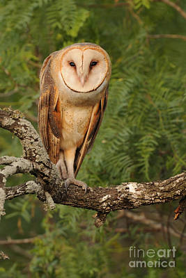 Photograph - Barn Owl by Scott Linstead