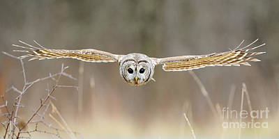 Canadian Wildlife Photograph - Barred Owl In Flight by Scott Linstead