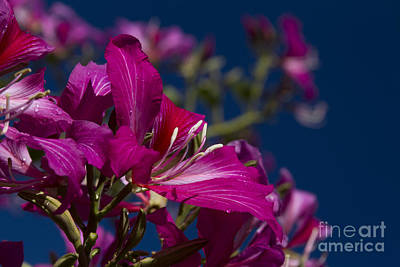 Pinks And Purple Petals Photograph - Bauhinia Purpurea - Hawaiian Orchid Tree by Sharon Mau