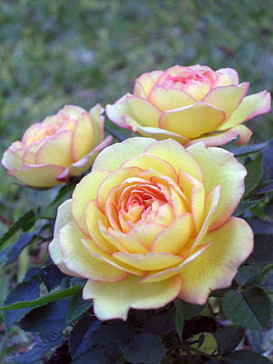 Photograph - 3 Beautiful Yellow Roses by Jo Ann