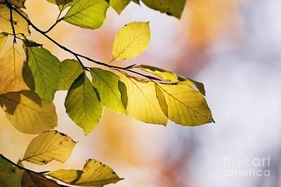 Photograph - Beech Tree Foliage by Adrian Bicker