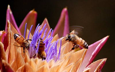 Print featuring the photograph Bees In The Artichoke by AJ  Schibig