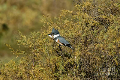 Belted Kingfisher With Fish Print by Anthony Mercieca