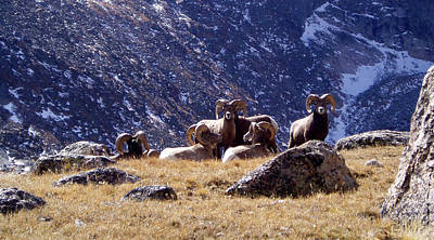 Photograph - Big Horn Sheep by Thomas Samida