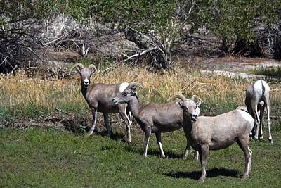 3 Bighorn Sheep In A Row Print by Renee Sinatra