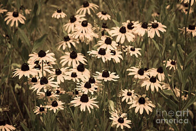 Photograph - Black-eyed Susans by Chris Scroggins