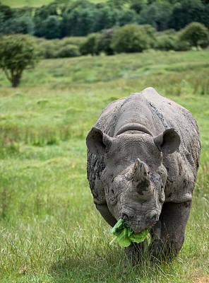 Black Rhinoceros Diceros Bicornis Michaeli In Captivity Art Print by Matthew Gibson