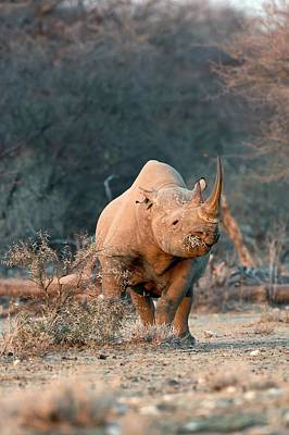 Rhinoceros Photograph - Black Rhinoceros by Tony Camacho