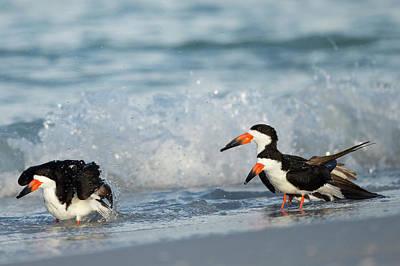 Bathing Photograph - Black Skimmer Bathing Along Shoreline by Maresa Pryor