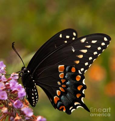 Black Swallowtail Butterfly Art Print by Iris Richardson