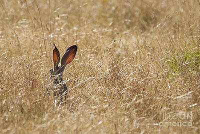 Photograph - Black-tailed Jackrabbit by Dan Suzio