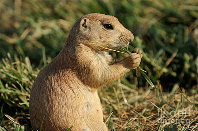 Dog Photograph - Black-tailed Prairie Dog by George Atsametakis
