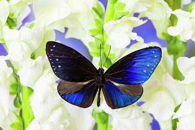 Snapdragons Photograph - Blue Crow Butterfly, Euphoea Mulciber by Darrell Gulin