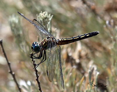 Dragonfly Photograph - Blue Dasher by David Salter