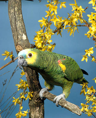 Blue-fronted Amazon Parrot Art Print by Hans Reinhard