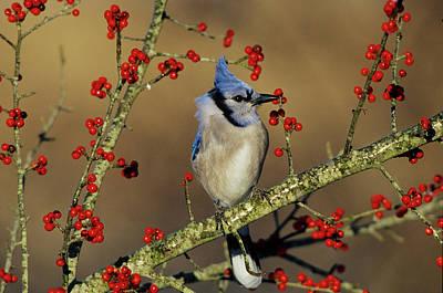 Cyanocitta Cristata Photograph - Blue Jay (cyanocitta Cristata by Richard and Susan Day