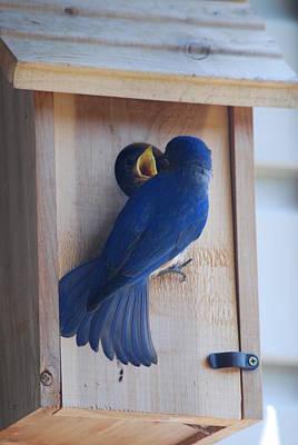 Bluebird Photograph - Bluebird Of Happiness by Kenny Glover