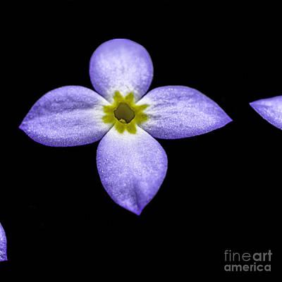 Tiny Bluet Photograph - Bluets by Thomas R Fletcher