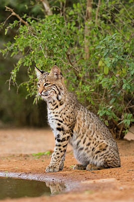 Bobcat Wall Art - Photograph - Bobcat (lynx Rufus by Larry Ditto