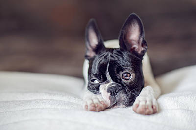 Royalty-Free and Rights-Managed Images - Boston Terrier Puppy by Nailia Schwarz