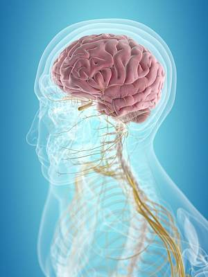 Human Brain Photograph - Brain And Nerves by Sciepro