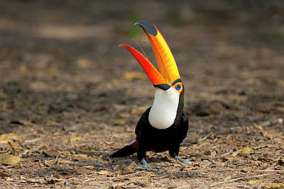 Toucan Photograph - Brazil, Mato Grosso, The Pantanal, Toco by Ellen Goff