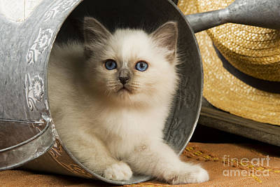 Photograph - British Shorthair Kitten by Jean-Michel Labat