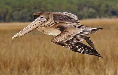 Brown Pelican Art Print by Paulette Thomas