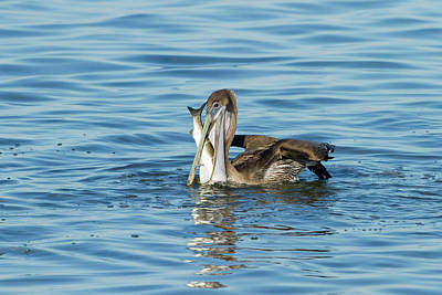 Pouch Photograph - Brown Pelican (pelecanus Occidentalis by Larry Ditto