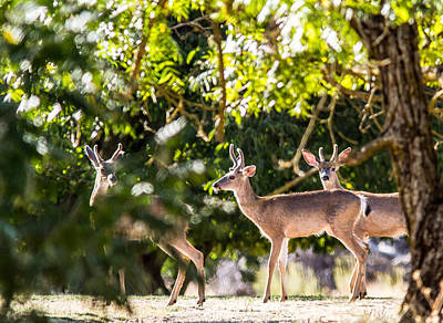3 Bucks Caught In A Orchard Original by Brian Williamson